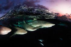 Lemon Shark Hunting Pack by David Doubilet, newscientist #Photography #Underwater #Lemon_Shark