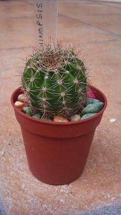 Cactus House Plants, Cactus Y Suculentas, Planter Pots, Herbs, Dawn, Herb, Medicinal Plants