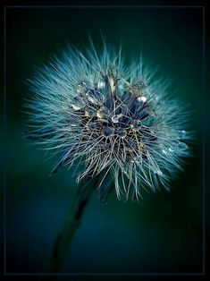 Dandelion with water droplets on it - Dew Drops, Rain Drops, Beautiful Flowers, Beautiful Pictures, Dandelion Wish, Dandelion Clock, Water Droplets, Foto Art, Make A Wish