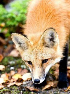 Red Fox by ZaNiaC - Steve Urszenyi