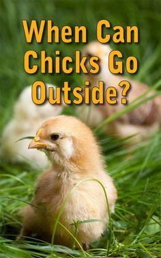 Chicks Outside