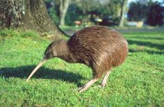 another symbol of New Zealand: the kiwi ! // flightless birds unique to NZ // brown, feathery, and about the size of a chicken