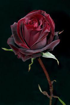 'Black Baccara' ~ rose