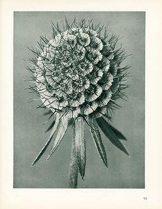 Karl Blossfeldt Photogravures Urformen der Kunst 1929.  Lilac-Flowered Scabious #91 [scabiosa columbaria].