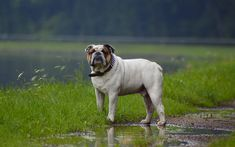 bulldog, 4k, pets, rain, dogs, cute animals