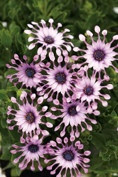 Osteospermum is a full sun annual flower that's frost resistant and will be one of your last blooming plants every year Unusual Flowers, Wonderful Flowers, Unusual Plants, Love Flowers, Pink Garden, Dream Garden, Full Sun Annuals, Blooming Plants, Flower Photos