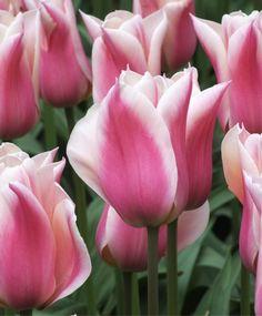 Tulip Sanne - Triumph Tulips - Tulips - Flower Bulb Index