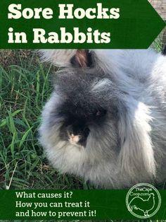 03b86805e Sore Hocks in Rabbits - The Cape Coop Meat Rabbits Breeds, Rabbit Breeds,  Raising