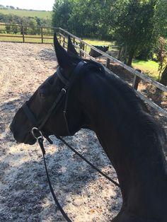 Cute Horses, Pretty Horses, Horse Love, Beautiful Horses, Black Horses, Wild Horses, Horse Photos, Horse Pictures, Big Animals