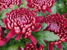November's Birthflower: The Colorful Chrysanthemum Order flowers online or call Toll Free on for same day flower delivery. Avas Flowers, Flowers For Mom, Birth Flowers, Fall Flowers, Japanese Chrysanthemum, Chrysanthemum Flower, Japanese Flowers, Flower Sketches, Order Flowers Online