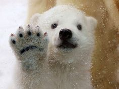 A three-month-old polar bear cub presses his paw and nose against the glass as he encounters snow for the first time, at Aalborg Zoo in Denmark.