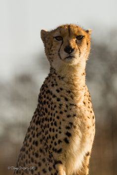 phototoartguy:    Late Afternoon Cheetah (by Bambi_72)