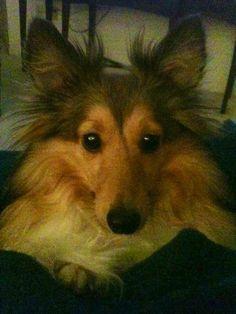 I love my pup..Sheltie love❤