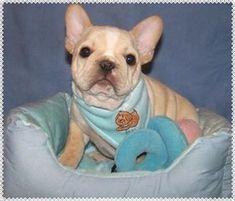French Bulldog Puppies - French Bulldog Breeders - All Star French Bulldogs AKC