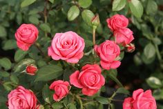 Bella Rosa - Ludwigs Roses | Small pointed, clear pink buds are produced in profusion. In clusters as well as one to a short stem, making it ideal for cut flowers. Ideal for borders, group plantings & containers.