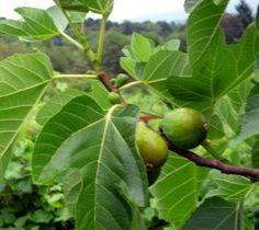 Desert King Fig ( ficus carica )
