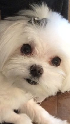 Close-up of Brooklyn, a Maltese Aussie Puppies, Cute Puppies, Dogs And Puppies, Teacup Maltese, Maltese Dogs, Pet Dogs, Dog Cat, Doggies, Malteser