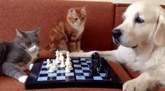 개와 고양이가 체스를 두면 일어나는 일.gif | 유머 게시판 | 루리웹