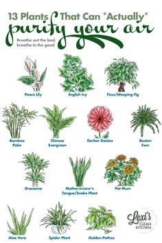 13 of the Best Plants for Air Quality at Home - Lexi's Clean Kitchen - - Indoor plants are good for more than just a pop of green. We are sharing our favorite 13 best plants for air quality and what they are good for! Best Plants For Home, Best Indoor Plants, Cool Plants, Indoor Plants Clean Air, Outdoor Plants, Plants For Patio, Plants That Repel Bugs, Indoor Flowering Plants, Indoor Herbs