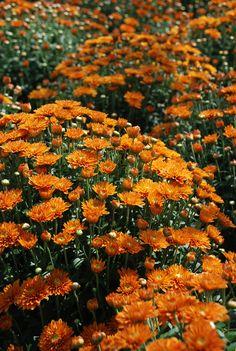 'Hannah' Fall Garden Mums - early season bloomers