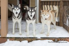 Can you believe we have to work again? #dog #siberianhusky #husky