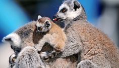 Pregnant Lemurs' Smell Gives Away Sex Of The Baby