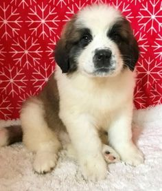Traditional Smooth and Soft Coat Saint Bernard Puppies FOR SALE ADOPTION from Ontario Bay of Quinte @ Adpost.com Classifieds > Canada > #91003 Traditional Smooth and Soft Coat Saint Bernard Puppies FOR SALE ADOPTION from Ontario Bay of Quinte,free,canadian,classified ad,classified ads