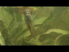 [Gourami Fasciata] mâle sauvage - 01 - YouTube