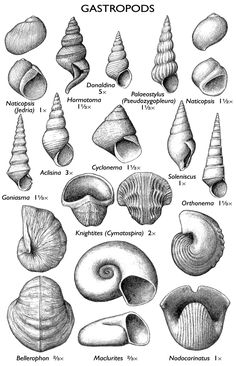 IL gastropod fossils - Pin This Drawing Sketches, Art Drawings, Fossil Hunting, Extinct Animals, Prehistoric Creatures, Rocks And Minerals, Sea Creatures, Painting & Drawing, Sea Shells