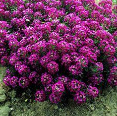 alyssum - purple. aprilc. Lobularia maritima