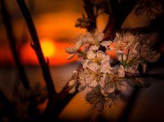 Sunset Blossoms. Photo by LarryD. wunderground.com