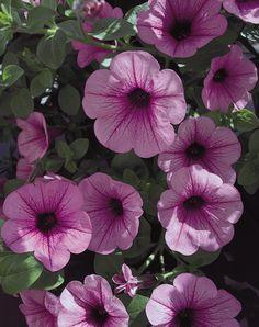Surfinia®+Pink+Veined+-+Petunia+hybrid