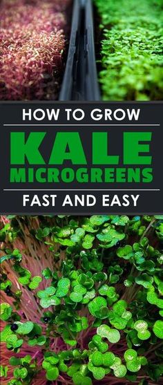 How to Grow Kale Microgreens Fast and Easy | Epic Gardening