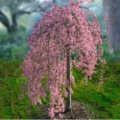 Terrace Garden - Pink Weeping Cherry Tree -memory garden- I love this With forget me nots and Jacobs tears. This time, we will know how to decorate your balcony and your garden easily with plants Garden Trees, Lawn And Garden, Terrace Garden, Herb Garden, Trees And Shrubs, Trees To Plant, Dwarf Trees, Dwarf Flowering Trees, Weeping Cherry Tree