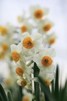 daffodils | Flickr - Photo Sharing!