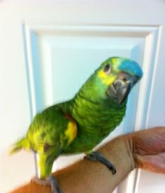 Blue fronted amazon baby for sale Birds For Sale, Amazon Baby, Conure, Cockatoo, Parrots, Feathers, Eggs, African, Fur