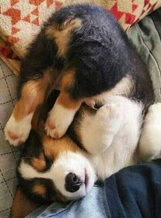 Corgis can sleep in just about any position!