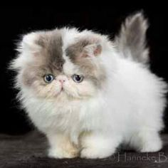 A ball of fluff! #cute #cat #fluffy 💛💛💛💛💛💛💛💛💛💛💛💛 #animals #tagsforlikes #L4L #dogs