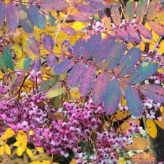 Sorbus hupehensis Tree - Pink Pagoda - Trees and Shrubs - Gardening - Suttons Seeds and Plants