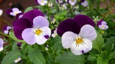 pansy flower macro photography