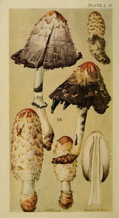 Shaggy Mane   n9_w1150 by BioDivLibrary, via Flickr