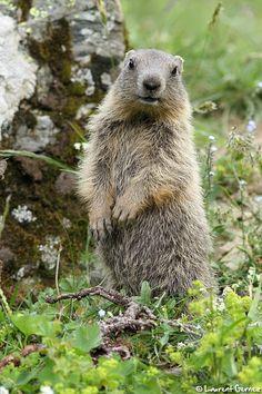 Marmotte                                                                                                                                                                                 Plus