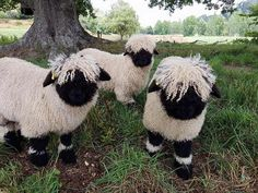 """It's hard to imagine that these Sheep, called the """"Valais Blacknose Sheep"""" are actually real because they look like they could be stuffed animals. Farm Animals, Animals And Pets, Funny Animals, Cute Animals, Wild Animals, Valais Blacknose Sheep, Sheep Breeds, Cute Sheep, Funny Sheep"""