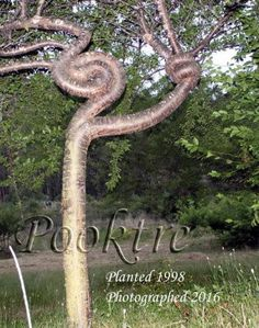 Spiral tree design with the idea this tree could hold a sign or even a light. Spiral Tree, Agricultural Practices, Tree Shapes, Tree Designs, Topiary, Bonsai, Trees, Gardens, Artist