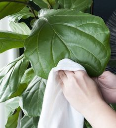 cleaning fiddle leaf fig trees