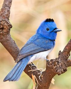 A male Black-naped Monarch pauses in the fork of a tree in Bhandhavguarh National Park in north-central India