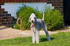 Hunde für Allergiker: Bedlington Terrier - der Wolf im Schafspelz