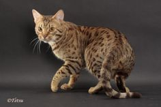 Ocicat ~ the only domestic cat bred to emulate the cats of the wild. Domestic Cat Breeds, Ocicat, Spotted Cat, Cat Reference, Bizarre Art, Cat Pose, Kitten For Sale, Catus, Cattery