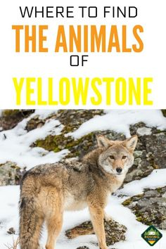 Planning a road trip to Yellowstone National Park with your kids? We spent a month exploring Yellowstone and found the best places to see wildlife. We were lucky enough to see bison, a pack of wolves, deer, a coyote and a moose! Us National Parks, Parc National, Grand Teton National Park, Yellowstone National Park, Yellowstone Hikes, Travel Hack, Rv Travel, Travel Tips, Alaska Travel