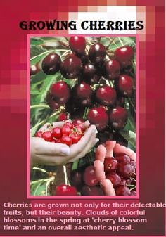 Cherries are grown not only for their delectable edible fruits, but also their beauty. They produce delicate clouds of spring cherry blossoms and have an overall attractive appearance. Growing Vegetables, Fruits And Vegetables, Growing Plants, Growing Cherry Trees, How To Grow Cherries, Tree Pruning, Crop Rotation, Organic Fertilizer, Fruit Trees